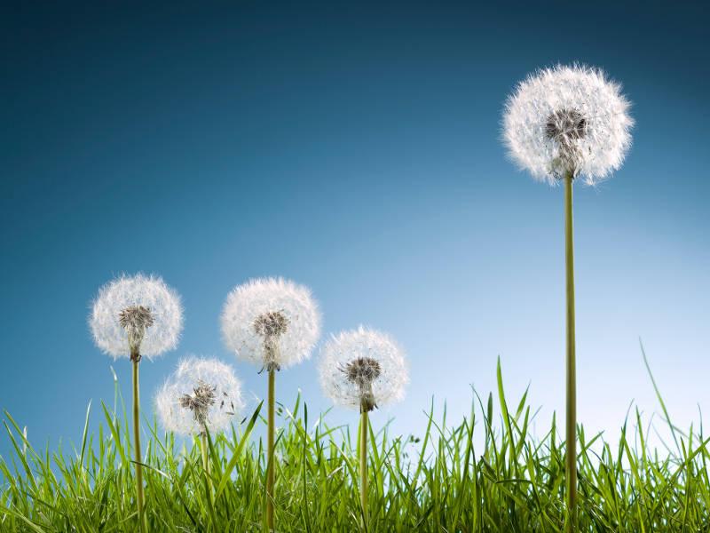 pelouse sans allergie et les mauvaises herbes pour les allergies