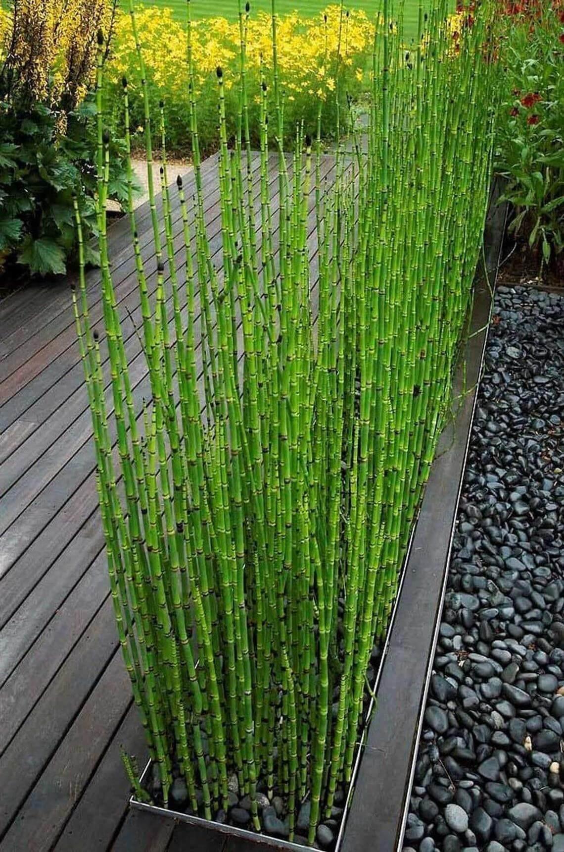 Belle plante de bambou miniature Equisetum Hyemale