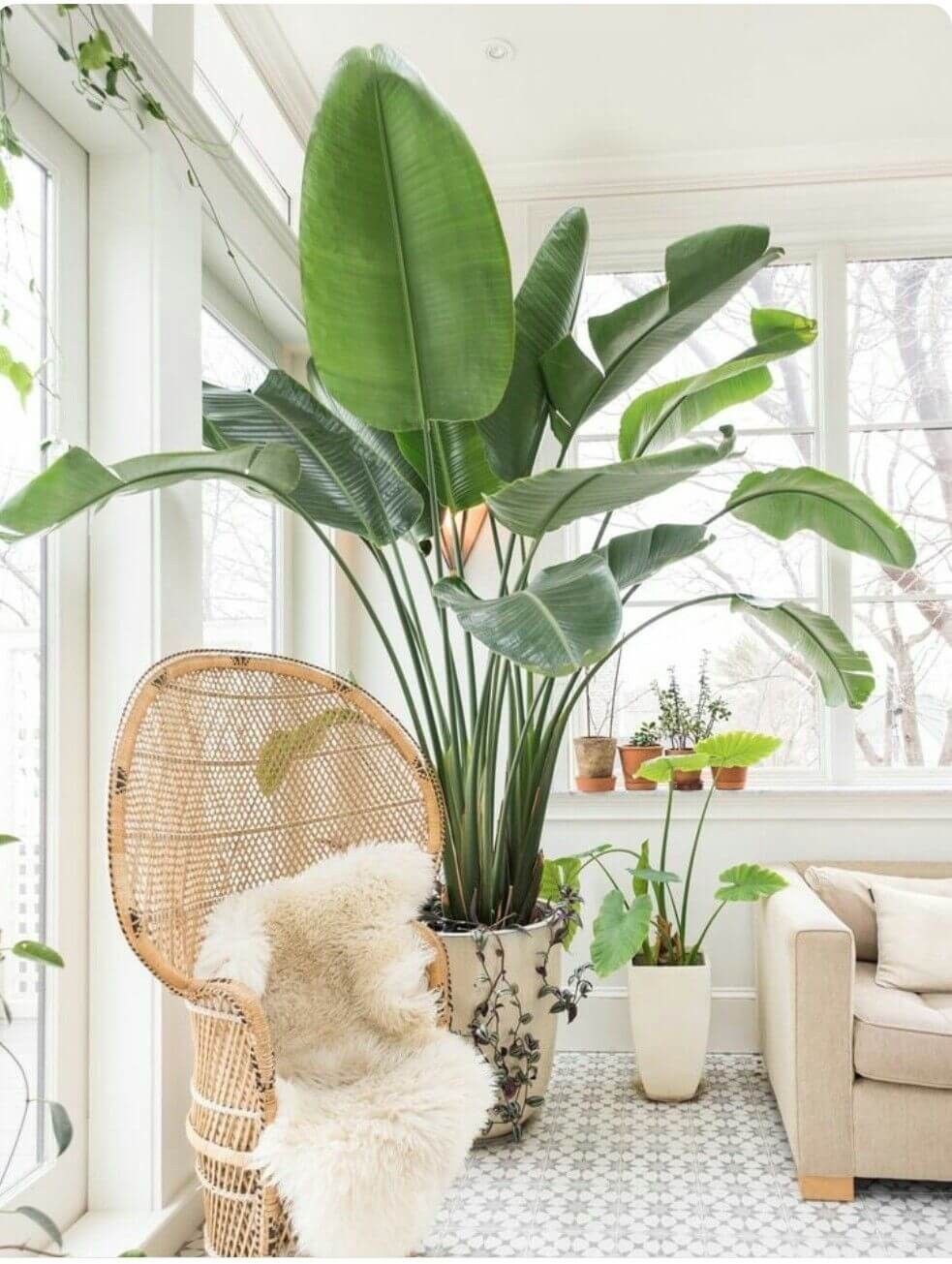 Grandes feuilles de bananier dans un salon blanc